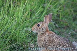 Luglio 2011 Coniglio selvatico