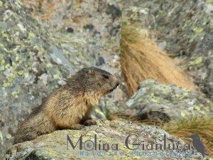 Marmotta ambientata