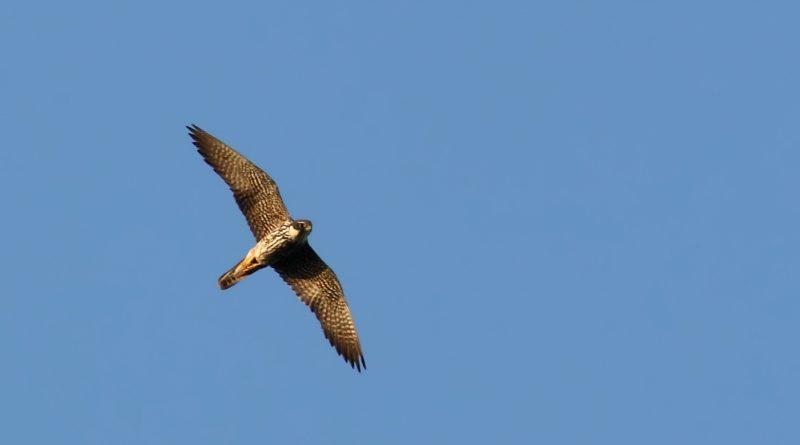 Falco Lodolaio in volo