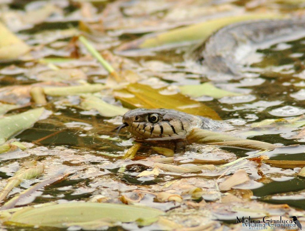 Natrice dal collare in acqua elab rid copy