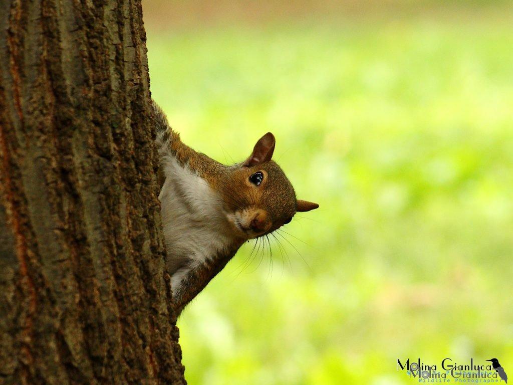 cucù - scoiattolo grigio
